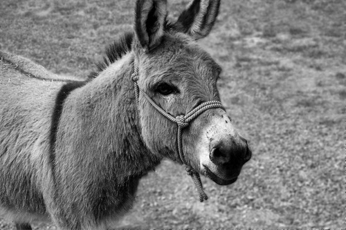 Saved by His Donkey