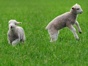 635631013260426181-Lamb-01