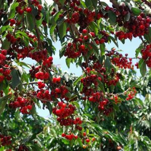 cherry tree cherries